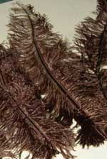 chocolate brown ostrich feathers